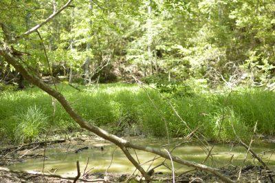 自然観察日記 モリアオガエル(1)樹上に見つけた卵
